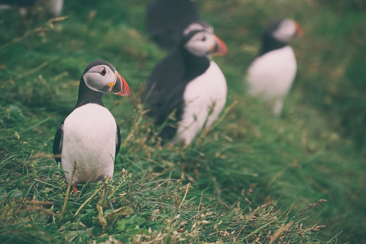 Holiday near the Puffins at Skomer Island, Wales